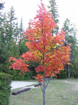 Maple tree in U.P., Michigan