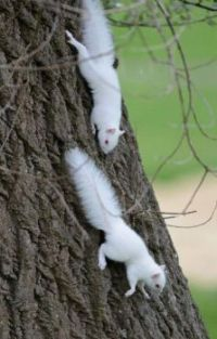 Veverka bílá_White squirrel