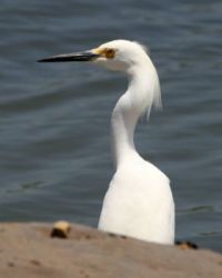 Snowy Egret, Lagoon Trail, Del Mar, California