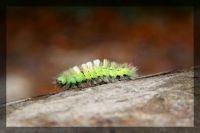 Pale tussock Moth larvae