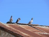 pigeons sunning on an old tin roof