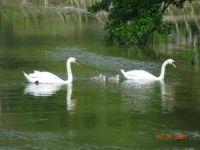 labutí rodinka - swan family