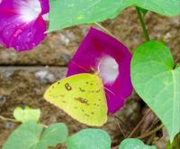 Sulfur Butterfly and Morning Glories