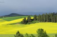 Field of canola on a stormy day