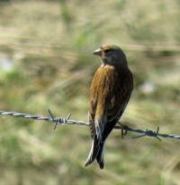 male linnet (kneu man)