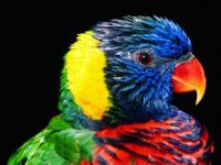 rainbow-lorikeet-bird