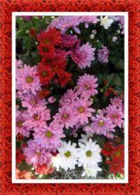 Směs chryzantém...  A mixture of chrysanthemums ...