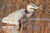 Lunchtime with a Great Blue Heron
