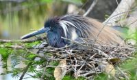 Tricolored Heron Nesting, Florida