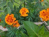 Marigolds