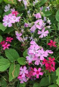 Phlox in bloom