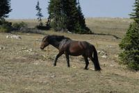 Pryor mountain stallion