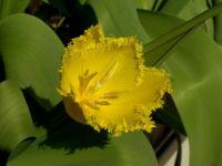 gelbe Tulpe.JPG
