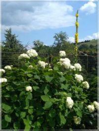 Hydrangea and Verbascum  -  Hortenzie a divizna