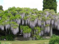Waterfall of Wisteria