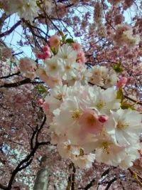Japonská Sakura
