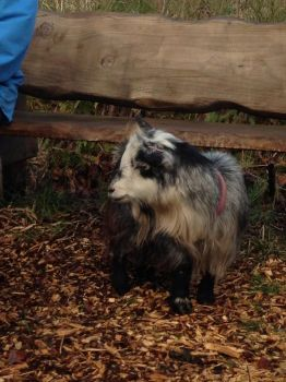 Kassy our little pygmy goat