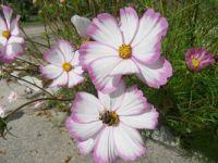 Krásenka zpeřená ,Cosmos bipinnatus