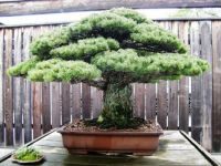 JAPANESE WHITE PINE (BONSAI TREE)