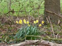 Series springflowers: Narcissus, in a wood