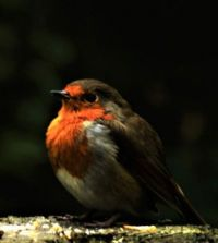 Fat Robin