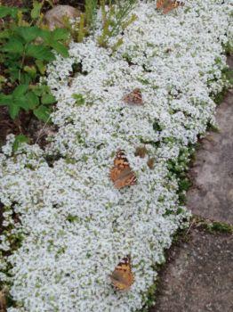 Motýli si pochutnávají