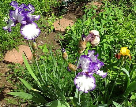 Purple and white Irises plus one