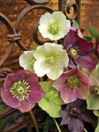 Rust and Hellebores