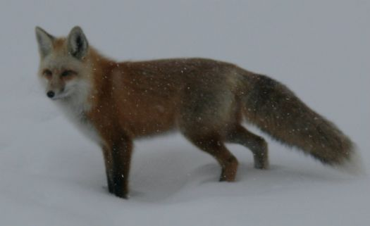 My Backyard Fox