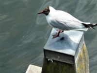 I was eating a meal on a terras near the harbour of Brielle and this gull - and all his relatives - were trying to steal my food from my plate or my fork!!