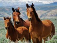 Wild horses from 15-Mile Wild Horse Herd