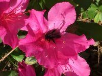 Bee on the Azalea