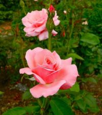 Perfect Pink Roses (small puzzle)