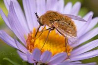 Bee flies are an early visitor to spring flowers