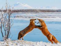 Foxes sparring, Alaska