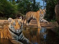 Tigers Watering Hole