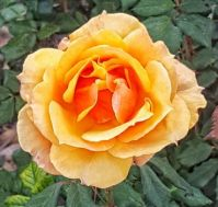 Yellow-Orange Rose (4)