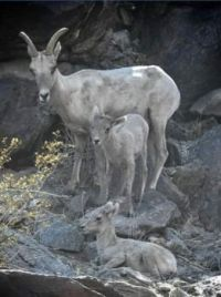 Deer and lambs Earth day 2021