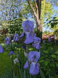 LibraryFan's irises.