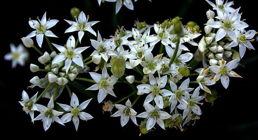Garlic chive blossoms