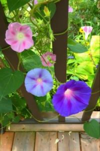 Three shades of the Morning Glory Flowers.