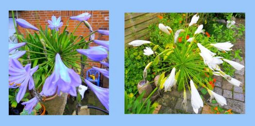 Agapanthus - still blooming :-)