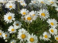Lots of Daisys