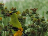Yellow Finch Among Flowers