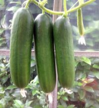 3 and a bit 'Partita' cucumbers