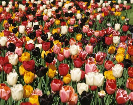 Theme, flowers: tulips