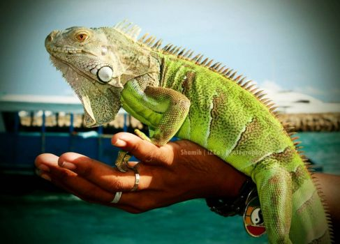 My Hero Iguana (smaller), by Easa Shamih on flickr