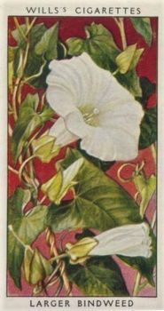 LAST OF THE MILLS'S FLOWER CARDS!  Larger Bindweed - Mills's Cigarette Card from 1920s.