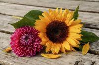 Dahlia & Sunflower
