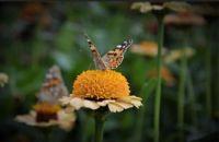 papillon par Eva Vester